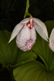Cypripedium formosanum RCP3b-2019 (23).JPG