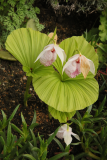 Cypripedium formosanum RCP3b-2019 (24).JPG