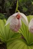 Cypripedium formosanum RCP3b-2019 (26).JPG