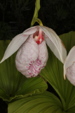 Cypripedium formosanum RCP3b-2019 (27).JPG