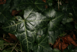 Hedera helix RCP12-09 008.jpg