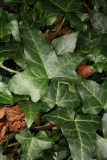 Hedera helix RCP12-09 009.jpg