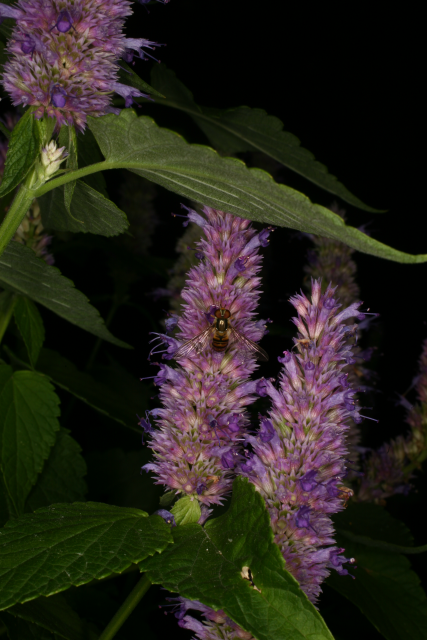 The garden of medicinal plants for Agastache cuisine