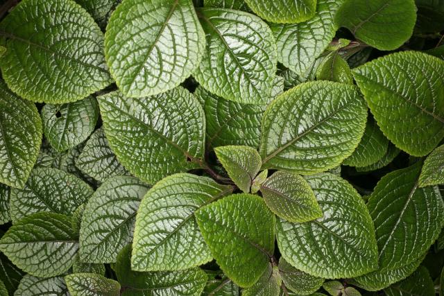 Plectranthus  kopen bestellen  KwaliteitsPlantennl